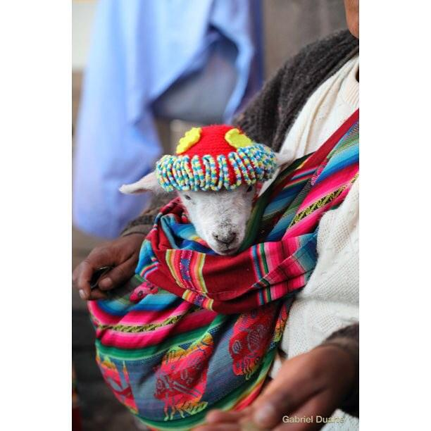 lamb in hat